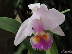 cattleya labiata, flower, plant, laelia, flora, cattleya trianae, petal,