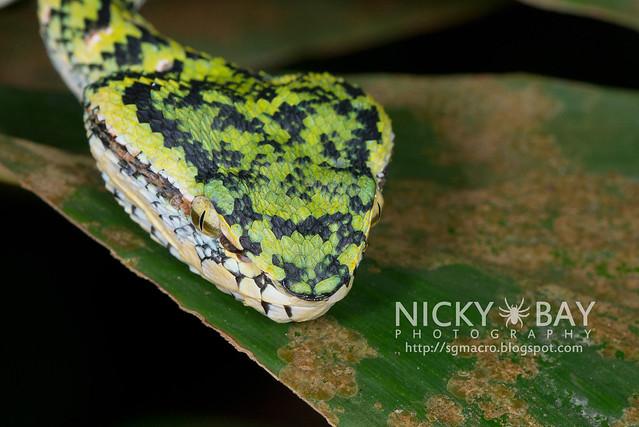Wagler's Pit Viper (Tropidolaemus wagleri) - DSC_3796