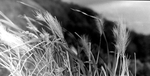 Grasses on Stone Wall - Pentax Espio 120mi by 35mm_photographs