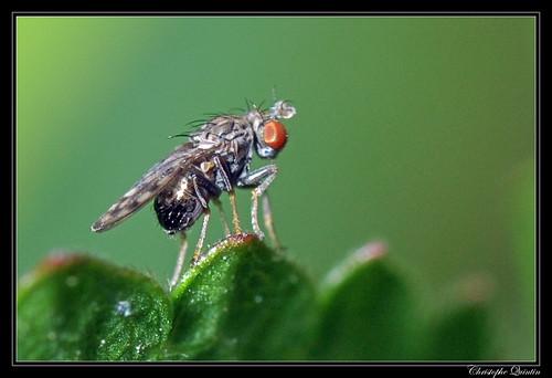 Philygria interstincta