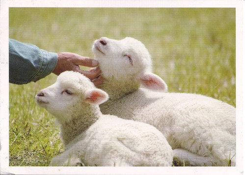 Sweet Baby Lambs