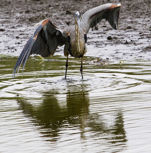 Great Blue Heron in the Rain by Ricky L. Jones Photography