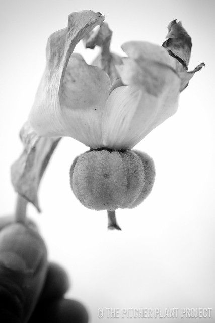 Sarracenia seed 2012