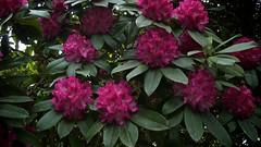 shrub, flower, plant, flora, azalea,