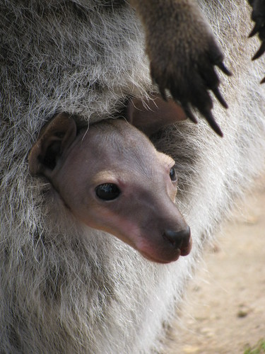 Baby Joey at Halls Gap Zoo by holidaypointau