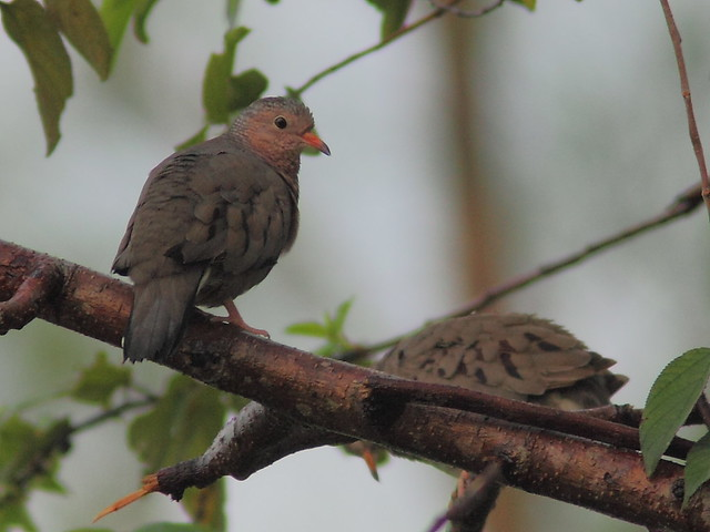 Common Ground-Doves 2-20120924