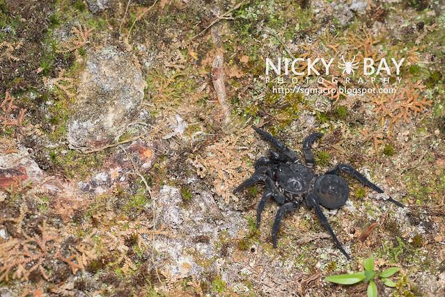 Black Armoured Trapdoor Spider (Liphistius malayanus) - DSC_6268