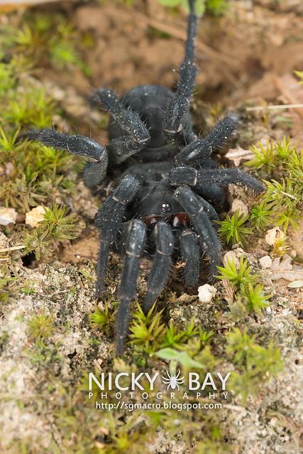 Black Armoured Trapdoor Spider (Liphistius malayanus) - DSC_6148