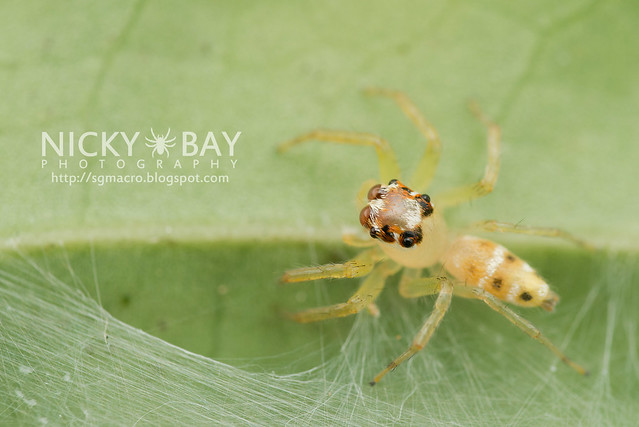Jumping Spider (Bavia aericeps) - DSC_6097