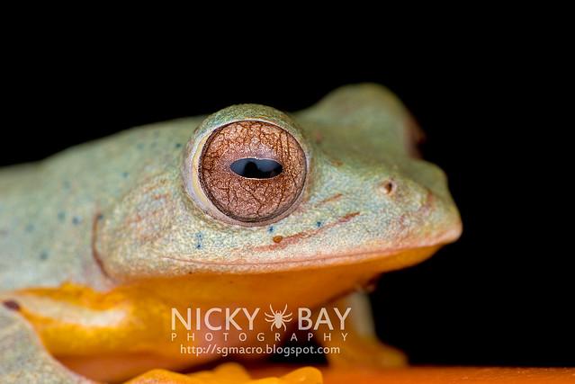 Twin-spotted Flying Frog (Rhacophorus bipunctatus) - DSC_5389