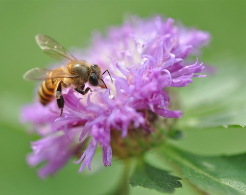macro singapore bees botanicalgarden centratherumpunctatum brazilbuttonflower