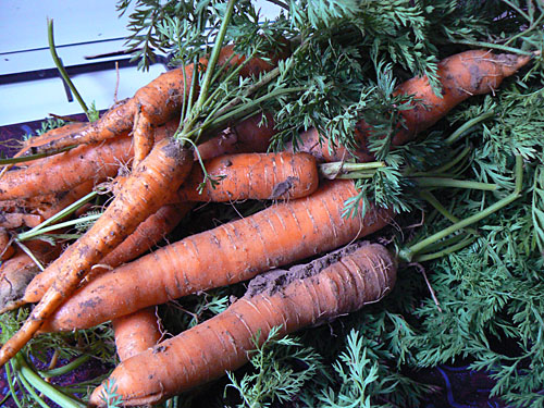 carottes crues.jpg