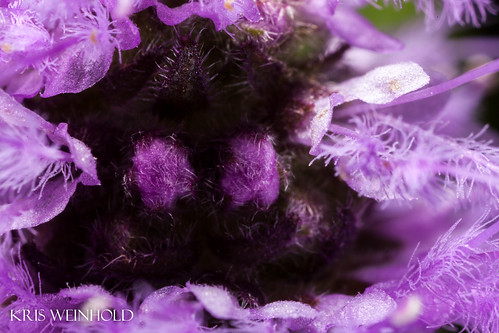 Pogostemon yatabeanus Inflorescence Bare Spot