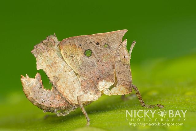 Dead Leaf Grasshopper (Caelifera) - DSC_8994