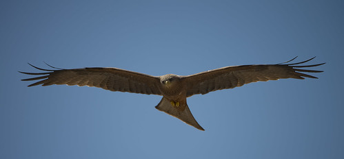bird tanzania flying photo image hawk wildlife picture safari ngorongoro blackkite birdofprey hovering wdcc