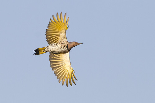 Norhtern Flicker