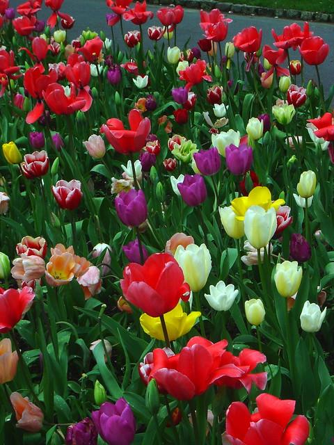 Van Eeden Mix Van Eeden Tulip Mix Wellingto