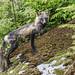 Gingolx fox by LisaHufnagel