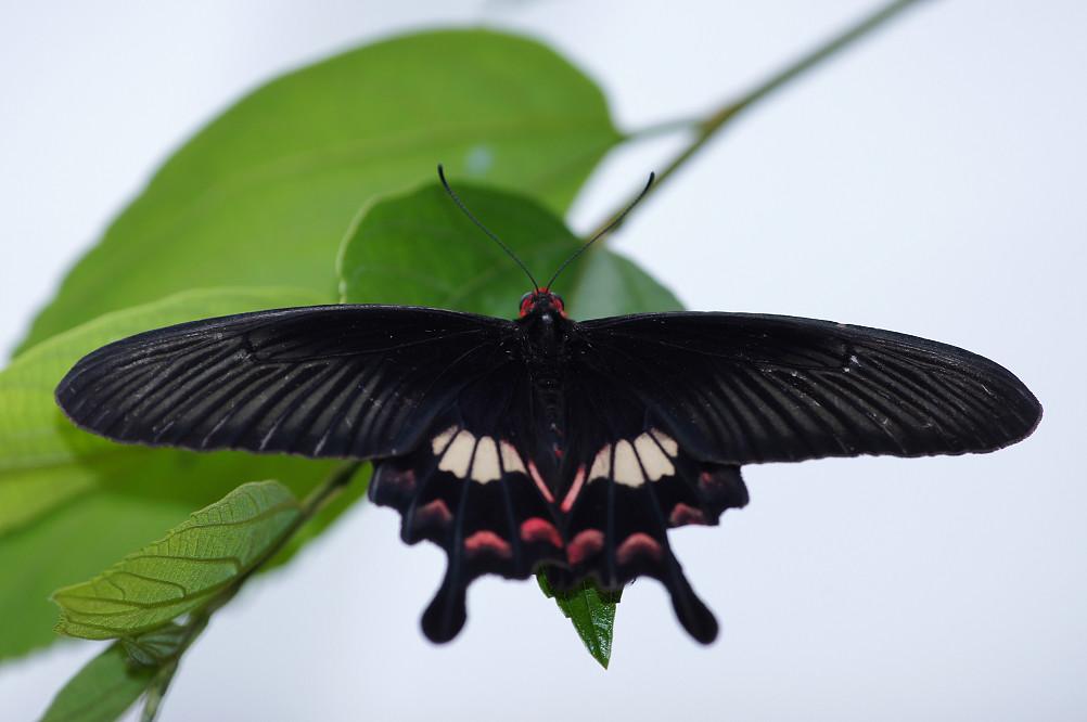 紅紋鳳蝶-1