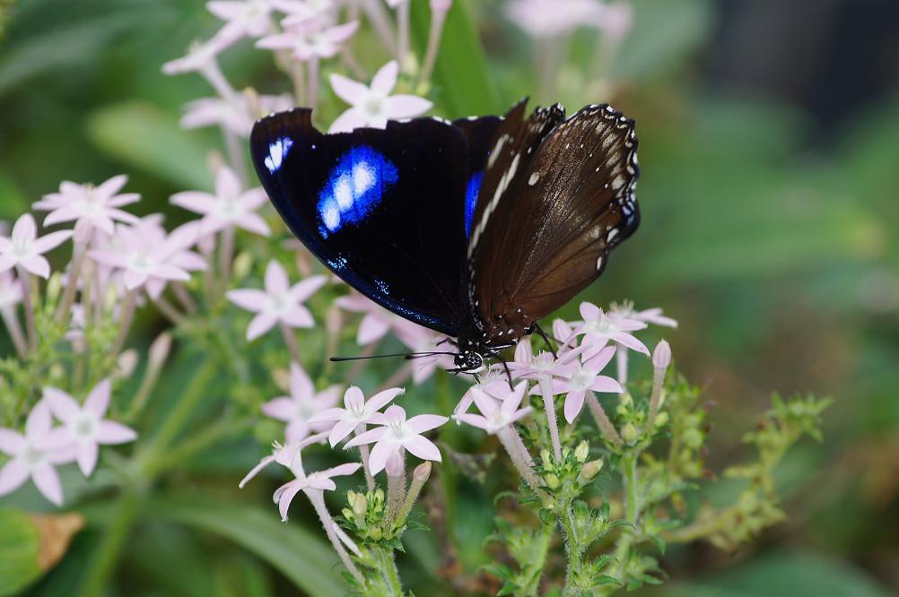 琉球紫蛺蝶-5