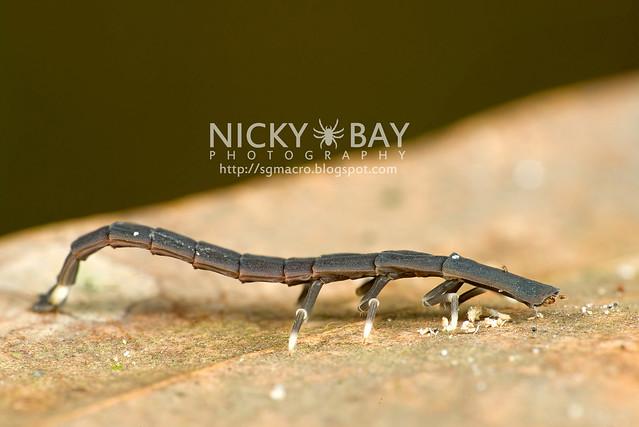 Firefly larva (Lampyridae) - DSC_6659