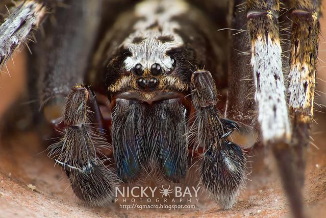 Wandering Spider (Ctenidae) - DSC_6445