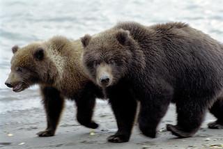 Ours d'Alaska