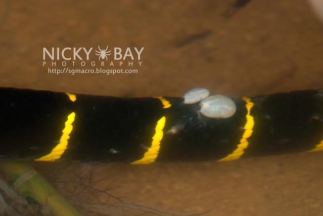 Gold-ringed Cat Snake (Boiga dendrophila) - DSC_3357