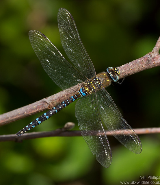 Migrant hawker dragonfly Aeshna mixta