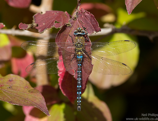 Migrant hawker dragonfly Aeshna mixta 3