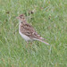 Small photo of Eurasian Skylark (Alauda arvensis)
