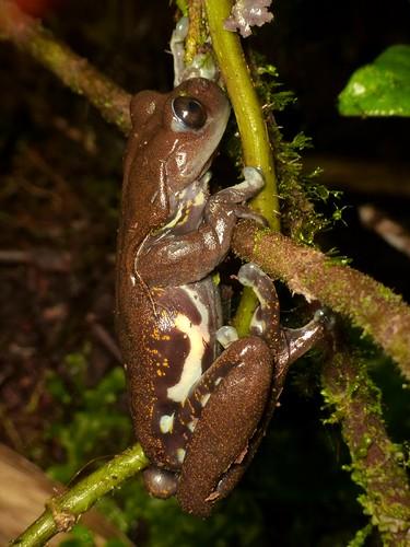<i>Hyloscirtus criptico</i> Rana torrentícola críptica