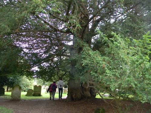 Yew, Slaugham churchyard