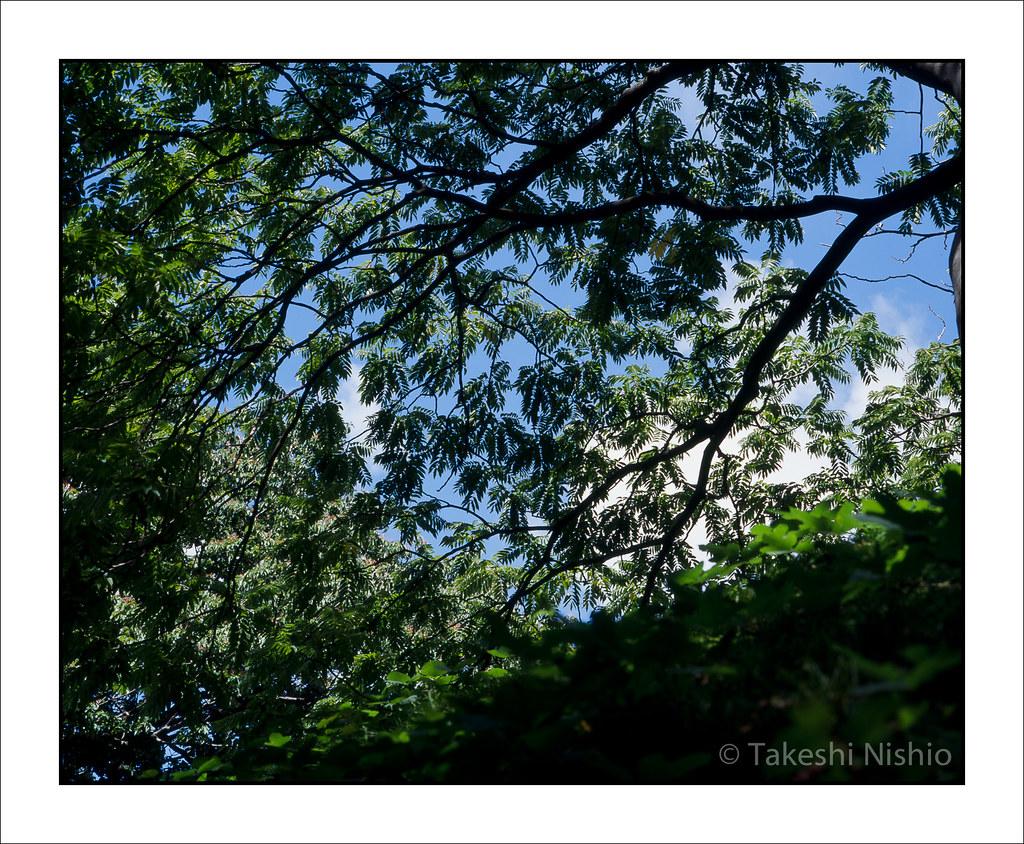 大樹の枝を見上げる / Look Up A Branch Of Big Tree