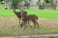 Deer in My Neighbors' Front Yard