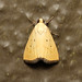 Marimatha nigrofimbria (Black-bordered Lemon Moth) Hodges # 9044 - Costa Rica