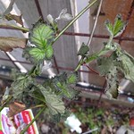 Frost damage on the new raspberry growth
