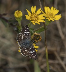 Checkered Skipper On Camphor-Weed