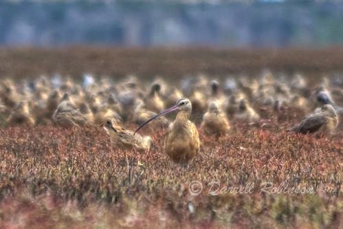 california birds canon morrobay sanluisobispocounty longbilledcurlew canoneos50d canonef70300mmf456isusmlens quantaraycpl morrobayestuarypreserve
