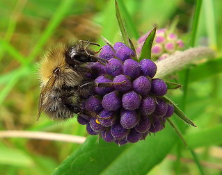 Fuji FinePix HS10-HS11.Super Macro.Study Of A Tiny Bee On A Devil's-bit Scabious Flower Bud.August 30th 2012.