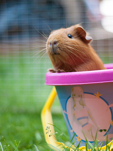 Squeak - Guinea Pig by Dale Hayter