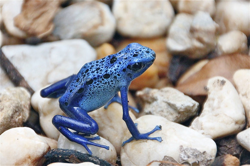 Blue Poison Dart Frog by Pat L.314