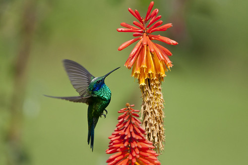 Colibri coruscans (Sparkling violet-ear/Colibrí grande verde)