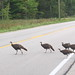Why did the chickens, er . . I mean turkeys cross the road?