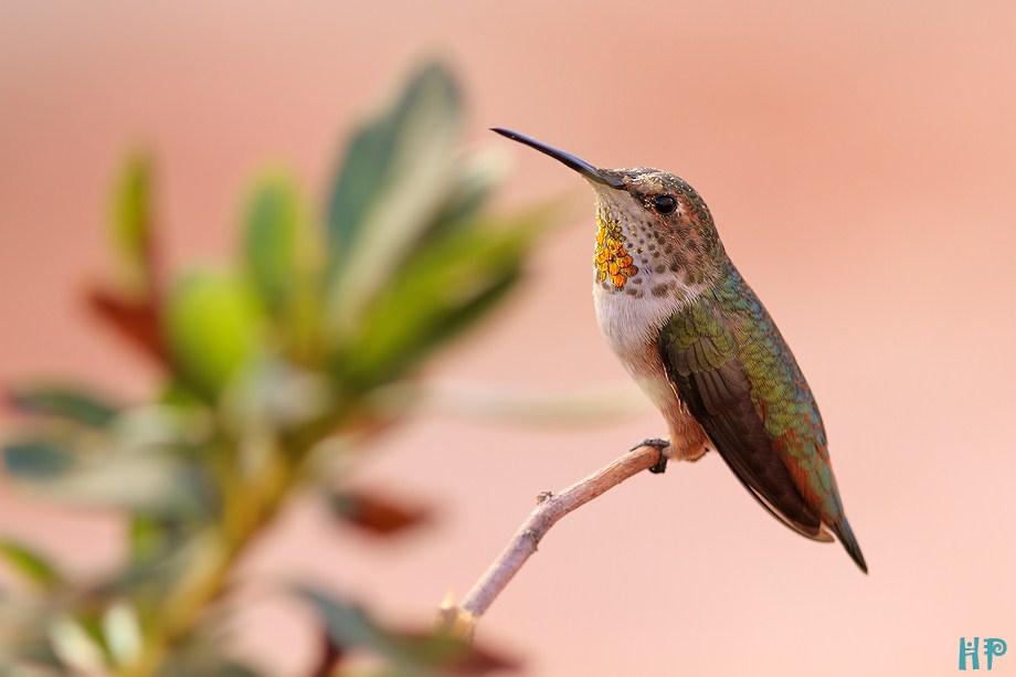 Allen's Hummingbird 090312