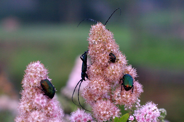 Sawyer and other beetles on shrub flowers