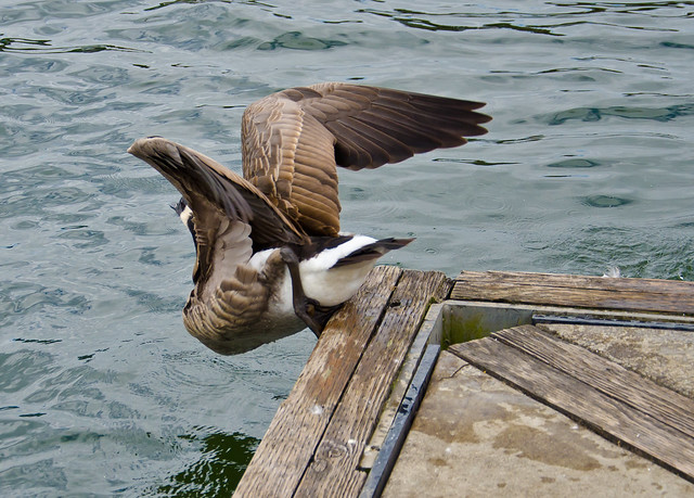 how to keep geese off dock