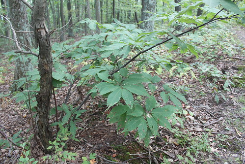 Bull Run Mountain - American Chestnut - Blighted Bark and New Shoot
