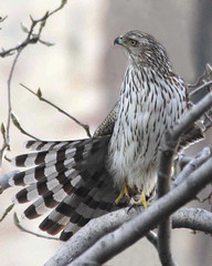 Cooper's Hawk tail in Tompkins Square Park
