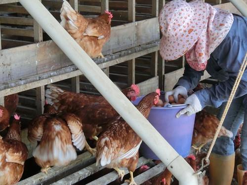 以平飼的健康母雞,好奇的觀看農民的行為。(攝影:林謙利)